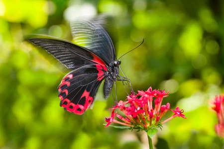 hovering: Scarlet Mormon butterfly landing on penta flowers