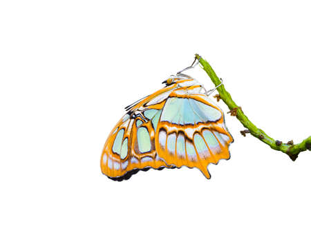 Malachite butterfly isolated on a white background photo