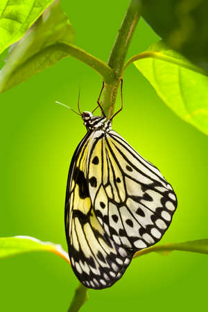 Paper Kite butterfly hanging from a plant outdoors