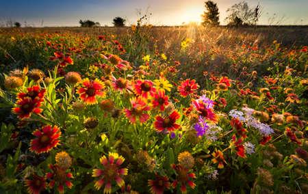 ひまわりとインディアン ブランケット夜明けの光の中の野の花