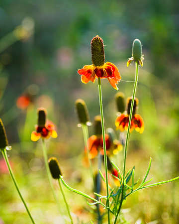 coneflowers: Mexican Hat Coneflowers growing wild in rural Texas Stock Photo