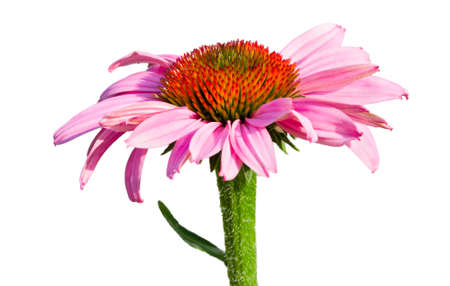 Pink-purple cone flower isolated on a white background Reklamní fotografie