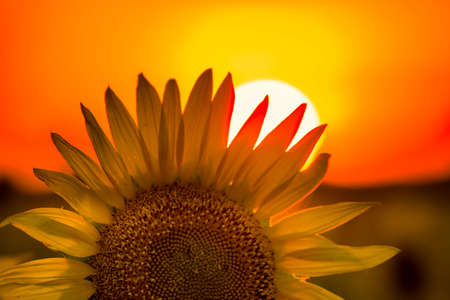 giant sunflower: Giant sunflower at sunset on a summer day in Texas Stock Photo