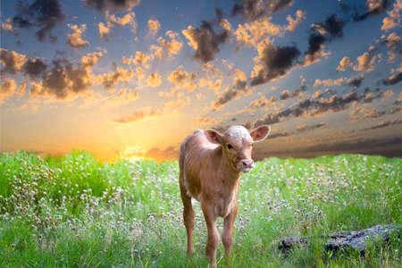 Days old baby longhorn calf exploring the Texas prairie at sunrise