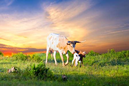 calas blancas: Mujer vaca Longhorn pastoreo en pastos de Texas en la salida del sol con dos terneros recién nacidos