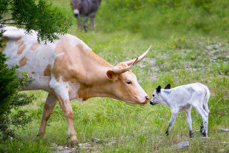 Tender moment between a female longhorn cow   and her newborn calf Reklamní fotografie