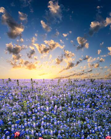 campo de flores: Bluebonnets que abarcan un campo de Texas rural