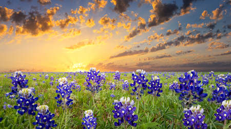 Bluebonnets covering a rural Texas field at sunrise 스톡 콘텐츠