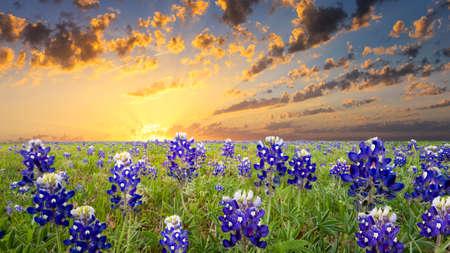 fleurs des champs: Bluebonnets couvrant un champ Texas rural au lever du soleil Banque d'images