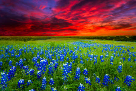 green field: Texas pasture filled with bluebonnets at sunset