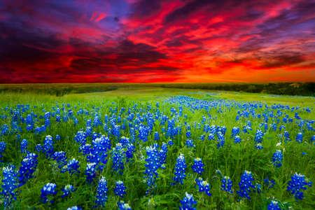 Texas weide gevuld met bluebonnets bij zonsondergang