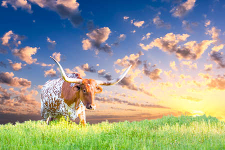 Female Longhorn cow in a Texas pasture at sunrise