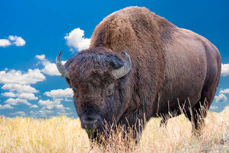 Adult bison grazing in Yellowstone National Park 스톡 콘텐츠