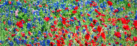 Red Poppies and Bluebonnets in the Texas Hill Country