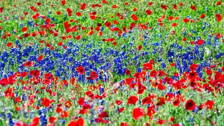 bluebonnet: Red Poppies and Bluebonnets in the Texas Hill Country