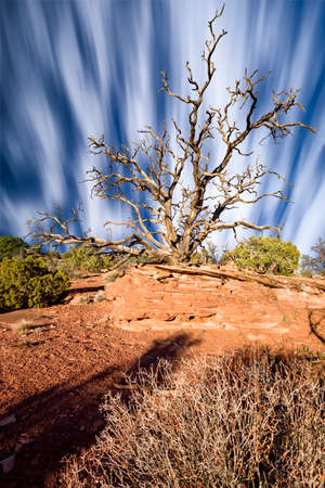 cedars: Clouds streaking behind a dead Juniper Tree on a sunny morning in Dead Horse Point State Park, Utah Stock Photo