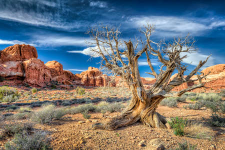 juniper tree: Old dead tree surrounded by rock formations in Arches National park, Utah