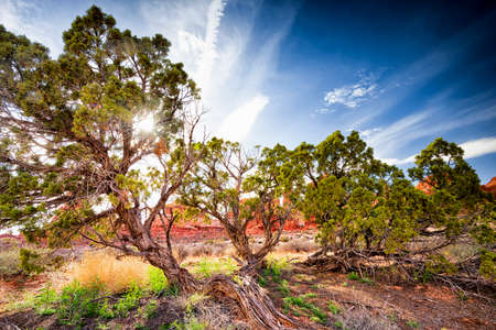 sagebrush: Juniper trees  surrounded by rock formations in Arches National park, Utah Stock Photo