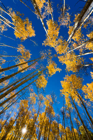 Sun shining through an autumnal golden aspen stand in the Santa Fe Ski Basin, New Mexico photo