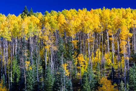 Golden aspens in the Santa Fe, NM ski basin photo