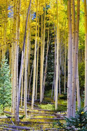 Golden aspens and fallen logs in the Santa Fe, NM ski basin photo