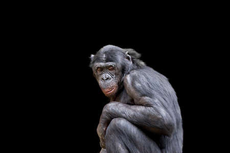bonobo: Bonobo Mayor (chimpanc�) aislados en negro Foto de archivo