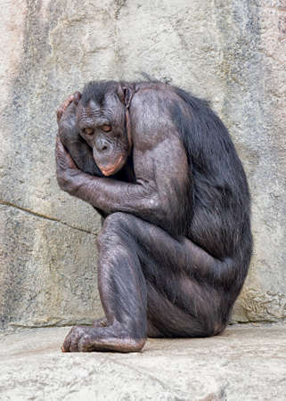 seemingly: Older bonobo (chimpanzee), seemingly insecure, curled in sitting fetal position Stock Photo