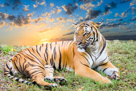 Wary tiger resting in a grassy field at dawn Stock Photo