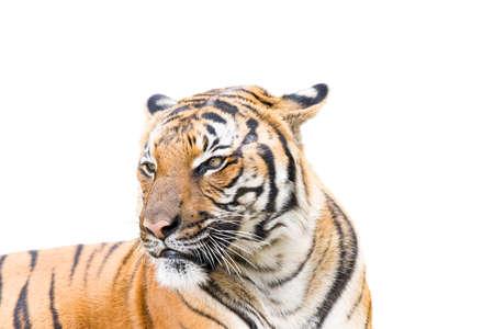 tigre blanc: Tigre adulte isolé sur un fond blanc Banque d'images