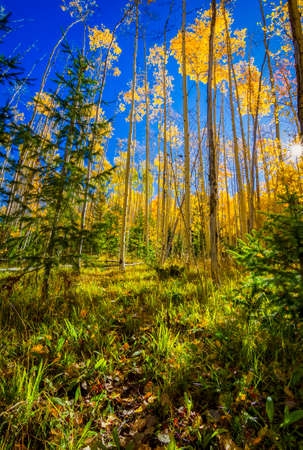 fe: Colorful golden aspens pictured against a crisp, clear fall sky