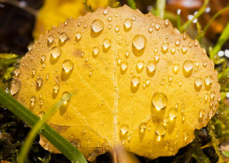 aspen leaf: Closeup view of a yellow aspen leaf covered in raindrops