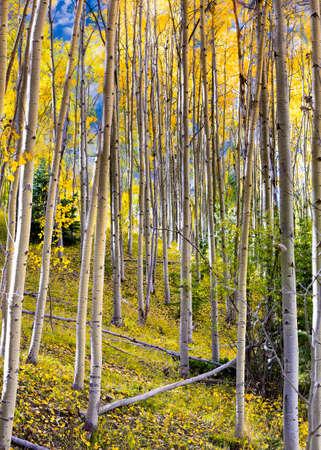 nm: Golden aspens and fallen logs in the Santa Fe, NM ski basin