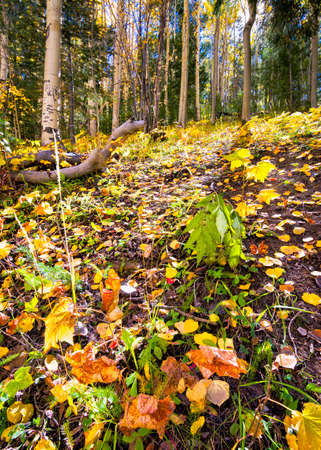 Colorful fallen leaves dotting the forest floor in an alpine forest Stock fotó
