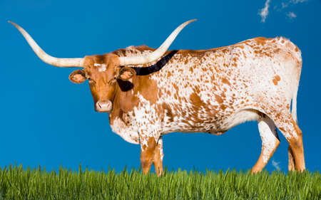 Female Longhorn cow grazing in a Texas pasture