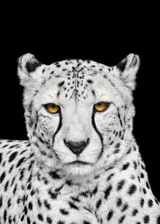 Adult cheetah isolated on black