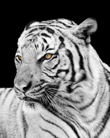 sripes: Adult tiger isolated on black