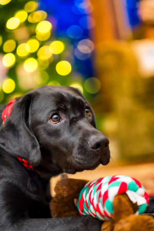 labrador christmas: Beautiful young black female labrador retriever in front of a christmas tree with her new toy Stock Photo
