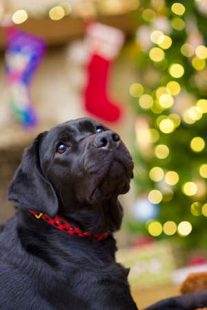 labrador christmas: Beautiful young black female labrador retriever in front of a christmas tree looking pensively upward