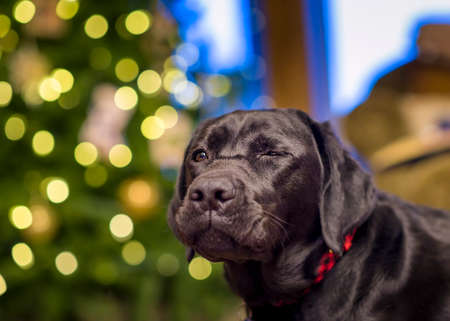 apparently: Beautiful young black female labrador retriever in front of a Christmas tree apparently winking with one eye closed Stock Photo