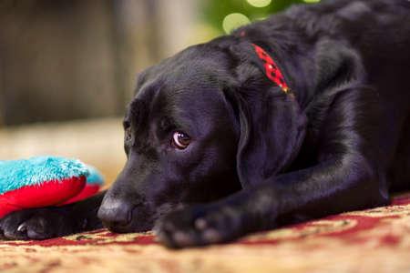 Beautiful young black female labrador retriever next to her new toy photo