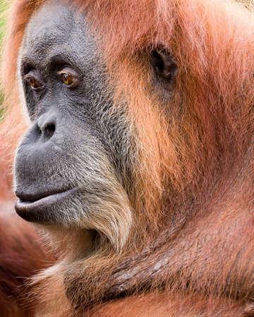 seemingly: Adult orangutan seemingly in a thoughtful pose