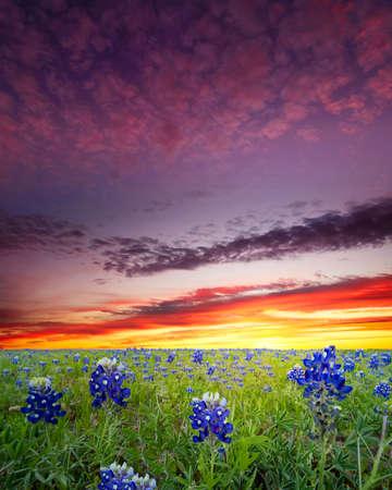Bluebonnets covering a rural Texas field at sunrise Reklamní fotografie