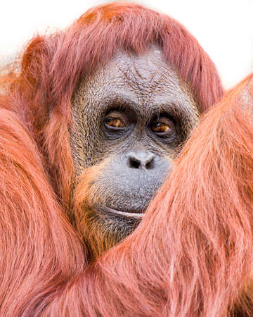 seemingly: Adult orangutan seemingly in a thoughtful pose, on a white background