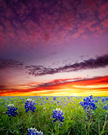 lupine: Open meadow containing numerous bluebonnets under a colorful dawn sky
