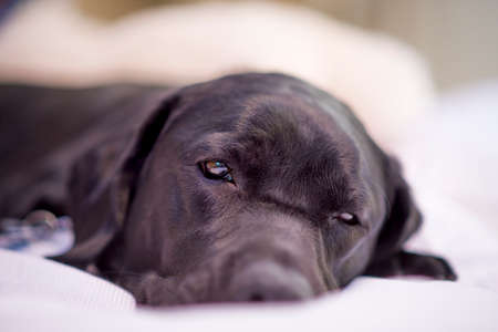 Beautiful young black female labrador retriever lying on her bed photo