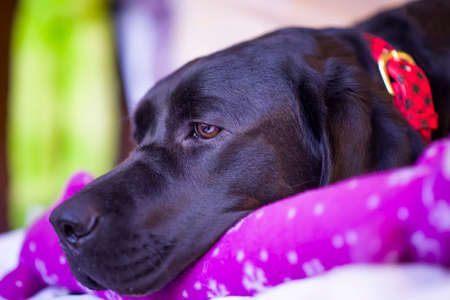Beautiful young black female labrador retriever lying on her new toy photo