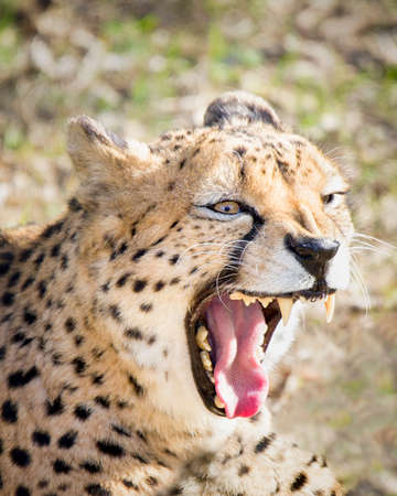 Close up view of an enraged cheetah grwoling Stock Photo