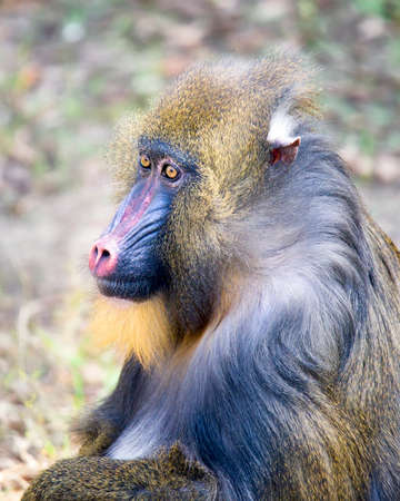 Side (profile) view of an adult mandril