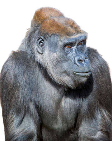seemingly: Adult gorilla, seemingly in deep thought, isolated on a white background