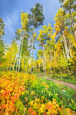 Colorful aspens and reddish-orange thimbleberry leaves pictured against a dark blue fall sky photo
